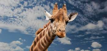 giraffe-animal-funny-facial-expression-39504