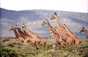 giraffe-wild-wildlife-nature-38534